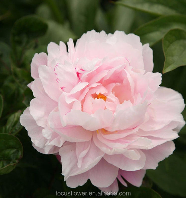 Natural Fresh Flowers Peony Pink Export From Yunnan