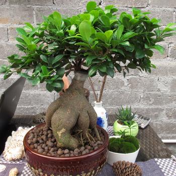 D cor la maison plantes petit bonsa ficus ginseng buy bonsa ficus ginseng plantes de - La maison du ginseng ...