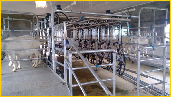 9jy Herringbone Milking Parlour For Goat Sheep Buy