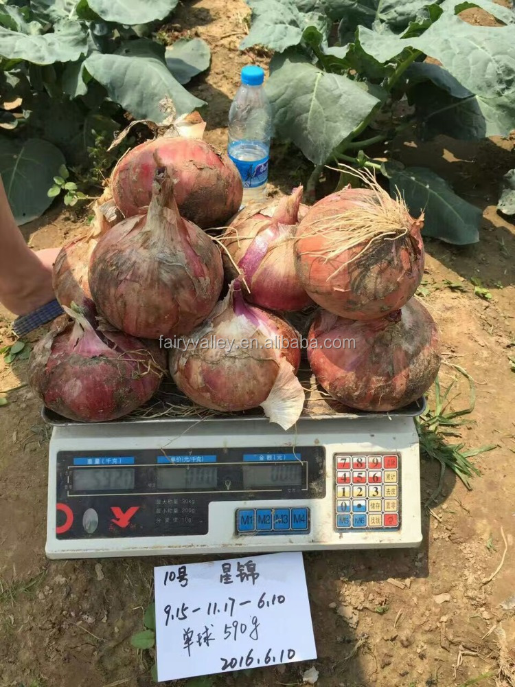 Hot sale hybrid onion seeds for growing-Jing Xia