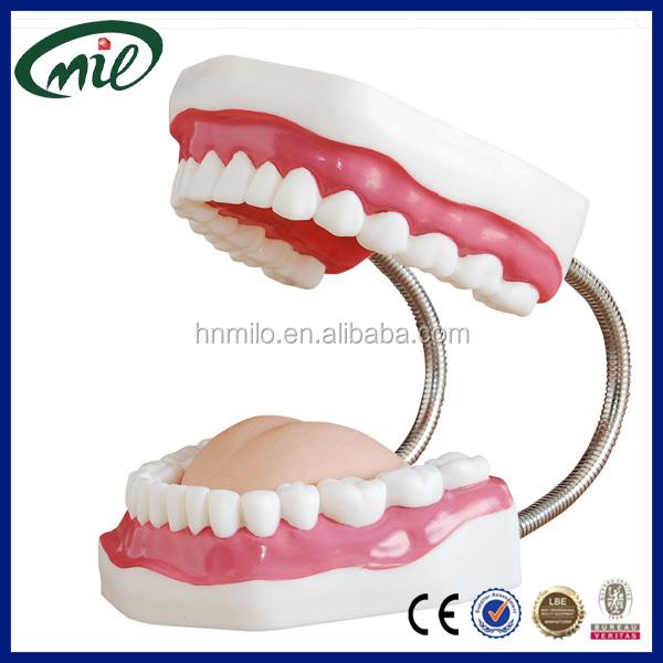Teeth Whitening Dedicated Teeth Model Dental Child Teeth Teaching Model Adult Teeth Gums Standard Demonstration Tool Cleaning Teaching Model Firm In Structure