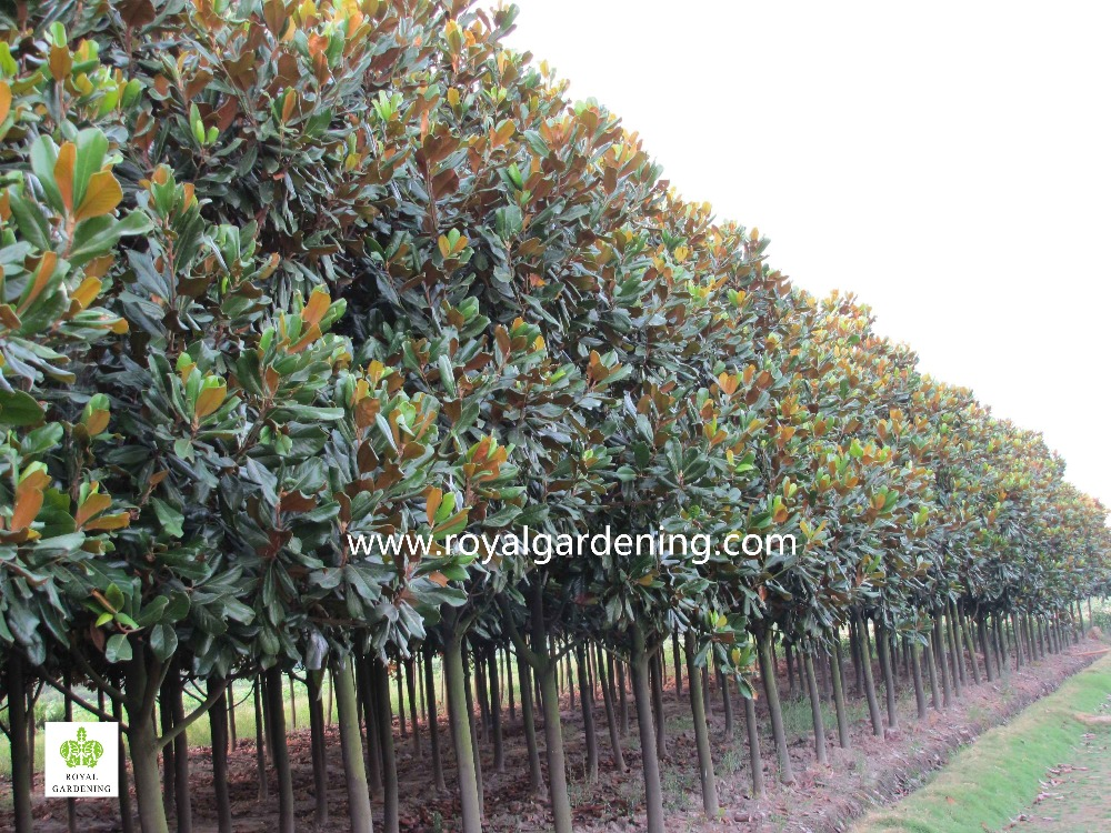 Magnolia Grandiflora Cold Hardy Landscaping Trees View Magnolia