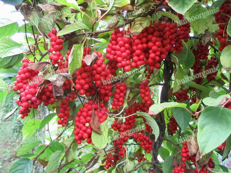 organic schizandra fruit extract schizandra berry buy schizandra schizandra berry extract. Black Bedroom Furniture Sets. Home Design Ideas