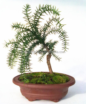 chinese rock bonsai dwarf araucaria bonsai buy araucaria