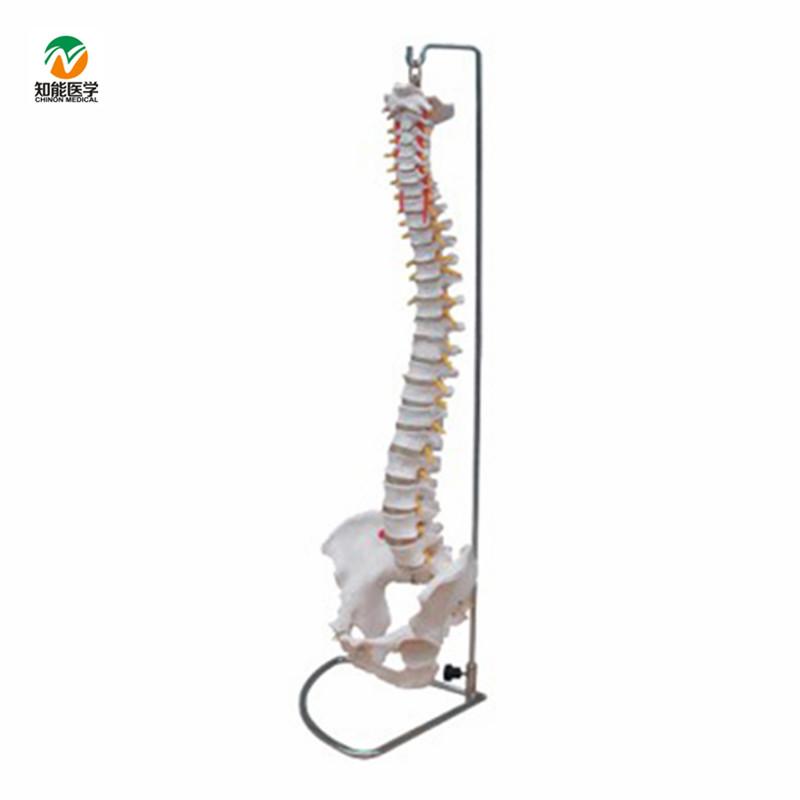 Venta al por mayor anatomia columna vertebral-Compre online los ...