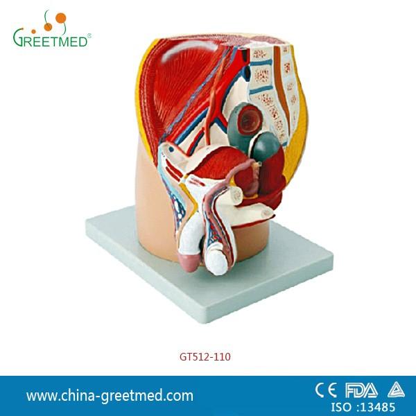 Plastic Male Female Pelvis Anatomical Model Buy Pelvis Model