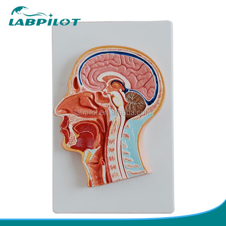 Venta al por mayor maqueta sistema nervioso-Compre online los ...