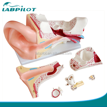 Oreja Gigante Modelo 6 A Oreja Estructura Modelo Anatómico Modelo De Oído Humano Buy Oído Gigante Modelo De Estructura De Oído Modelo De Oído Humano