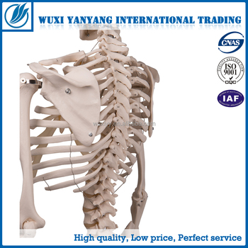 human skeleton,laboratory biology equipment,lab supply,torso, Skeleton