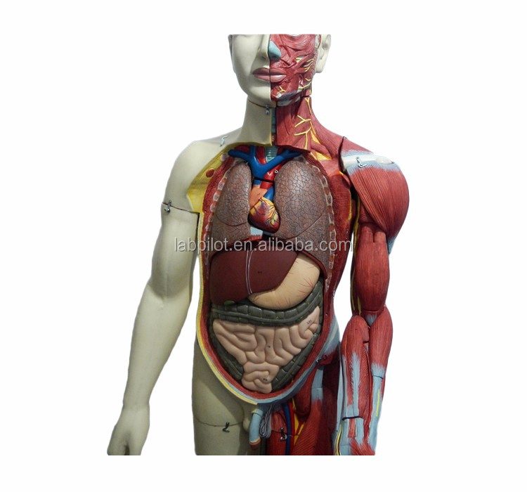 Deluxe Full Body Muscles With Internal Organs Modelanatomical
