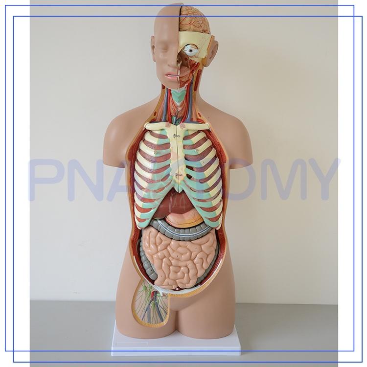 Pnt-0311 85 Cm 17 Teile Anatomie Des Menschlichen Körpers Organe ...