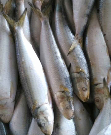 good quality of frozen sardine HGT