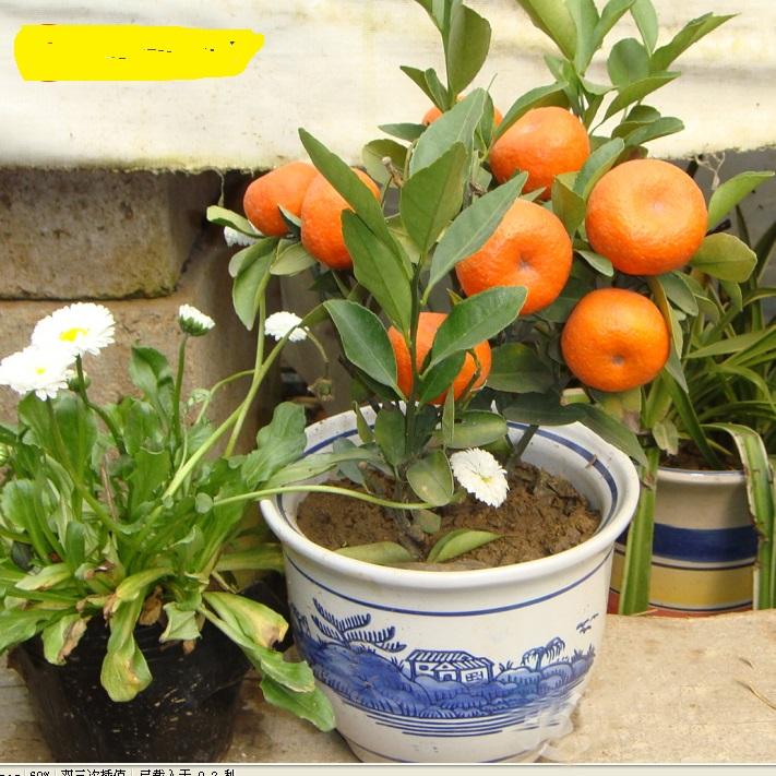 что видеть, семена апельсин из китая что выросло фото северо-западе