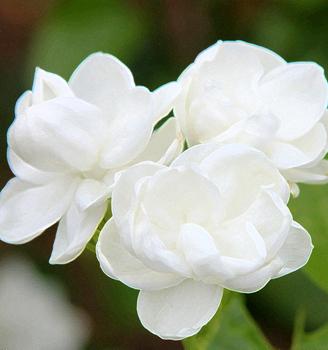 Gelsomino Bouquet Sposa.Bouquet Da Sposa Fiore Di Gelsomino Freschi Recisi Semenzaio