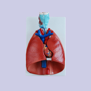 medical science subject and human anatomical model /throat ,heart ,lung model