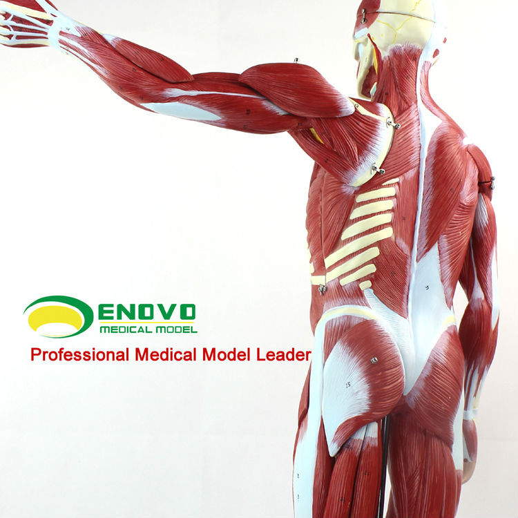 Muscle0212024 Full Size 170cm Human Muscles Anatomical Models With