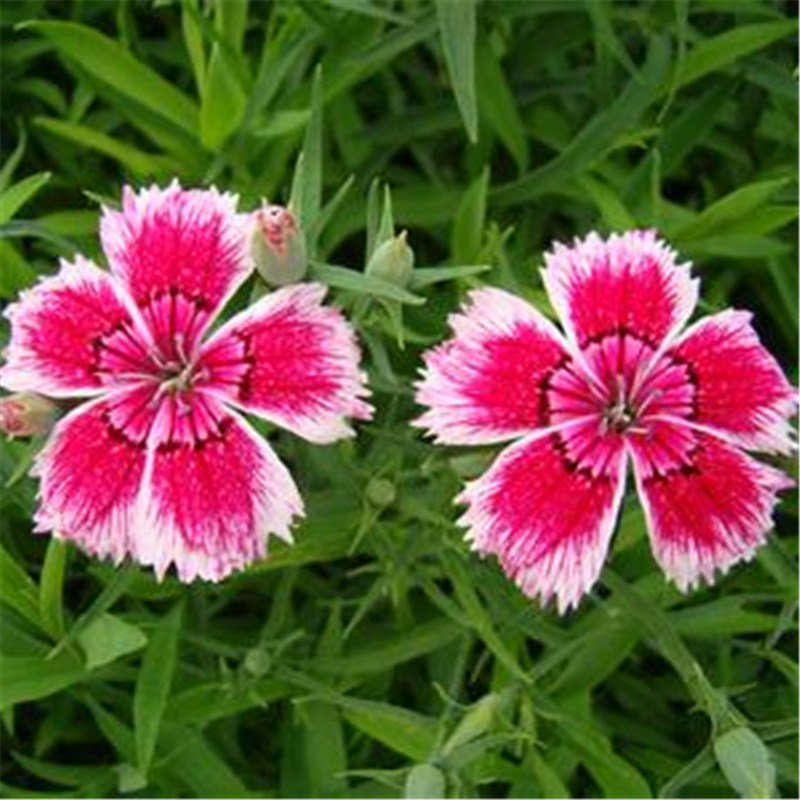 Carnation flowers seeds ornamental plants low price carnation flower seeds