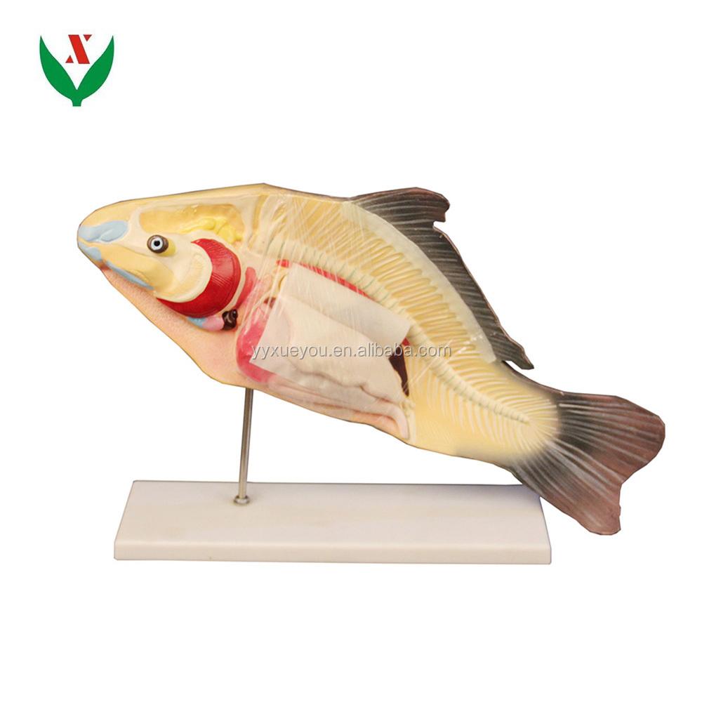 Fish Anatomical Model / Biological Model - Buy Fish Anatomical,Fish ...