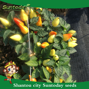 Hybrid Chilli Seeds, Hybrid Chilli Seeds Suppliers and