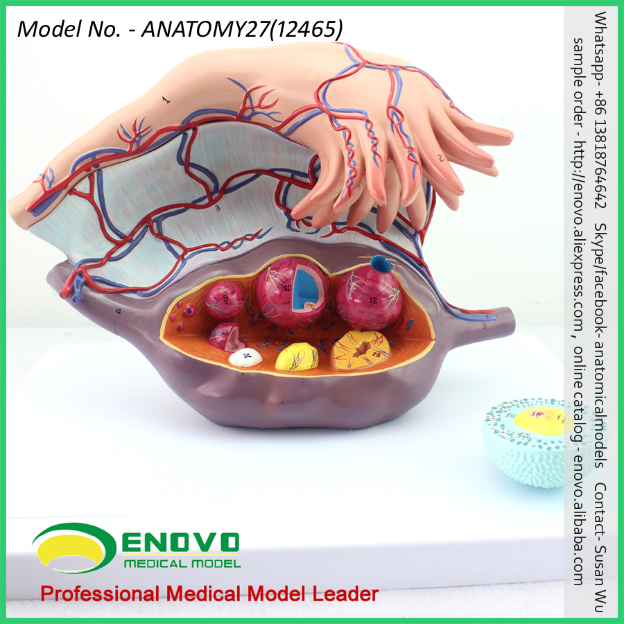 Anatomy27 (12465) Clinical Female Enlarge Ovaries Structure ...