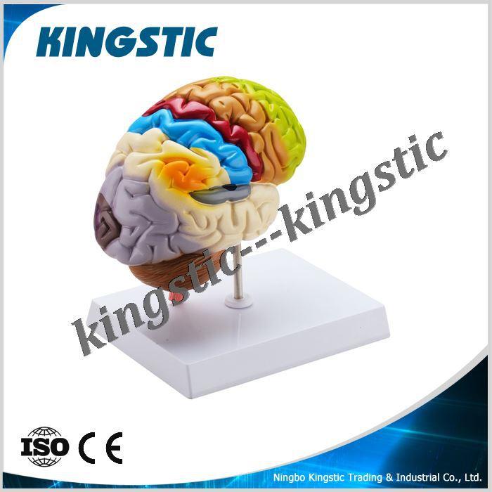 Human Brain Model Painted In Colormedical Anatomy Brain Model