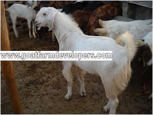 Goat & Sheep Farm Developers - Buy Goat Farms Product on Alibaba com