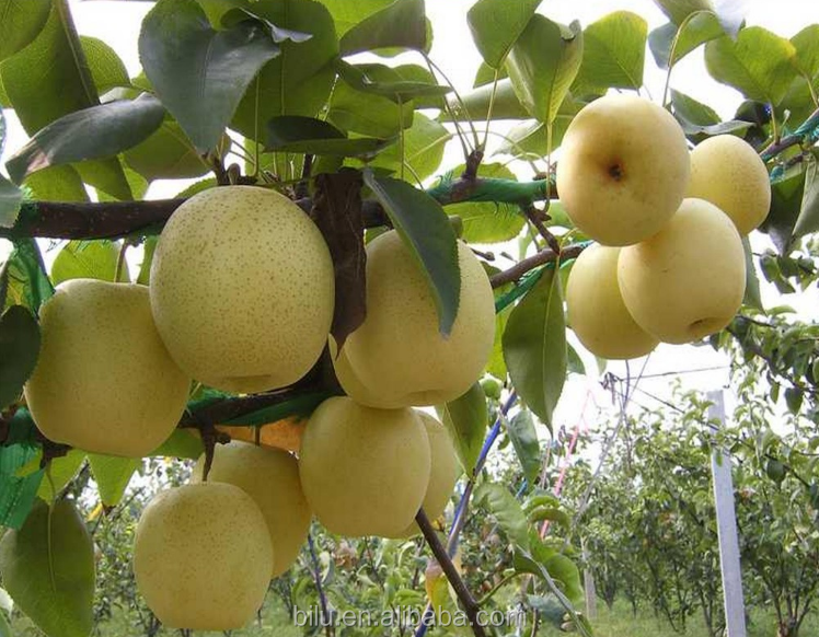 2017 New Crop Su Pear With Good Taste And Cheap Price