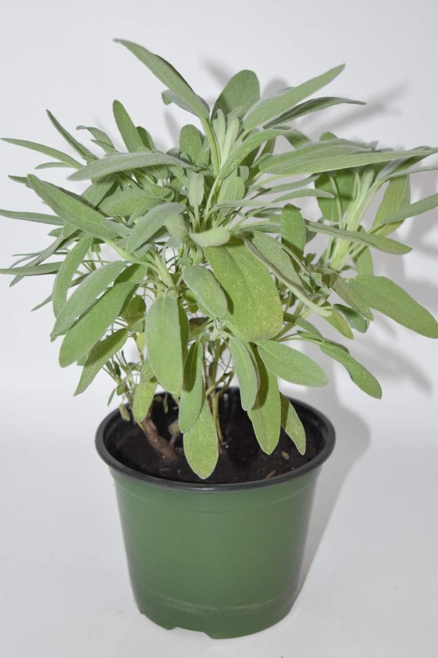"12+""/ 1 Ft+ Live Savory Sage Bush Plant - Blessings Plants, House Plant, Long Lasting Easy Care Plant"