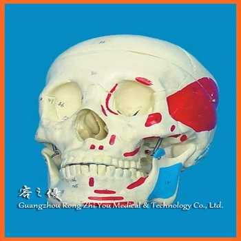 R020609 China Factory Wholesale Human Skull Muscle Labeled Skeleton ...