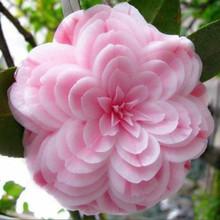 Semena kamélie pro pěstitele – 50 ks/bal