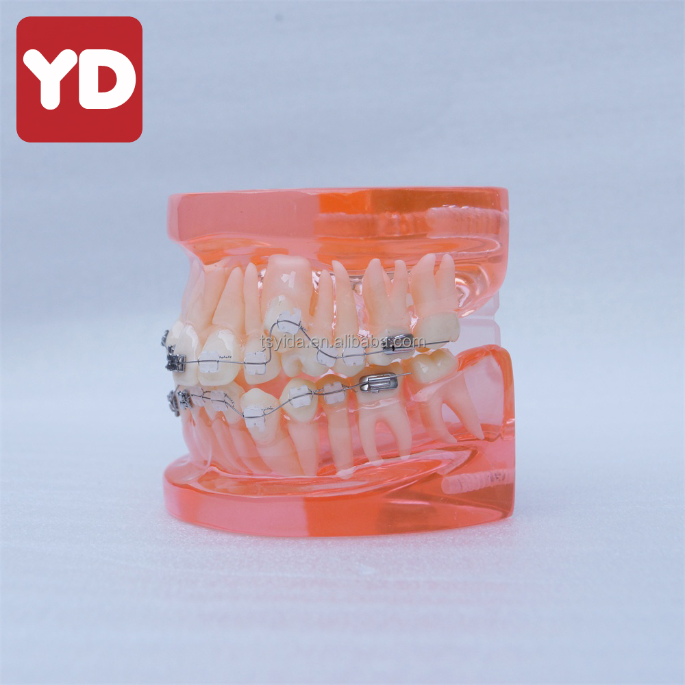 Typodont teeth modelo