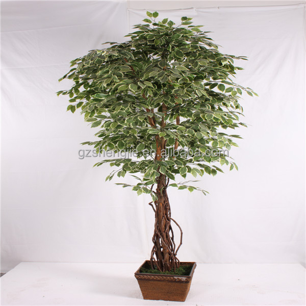 Y26 Use For Indoor Decorative Miniature Banyan Tree,Live Ficus ...