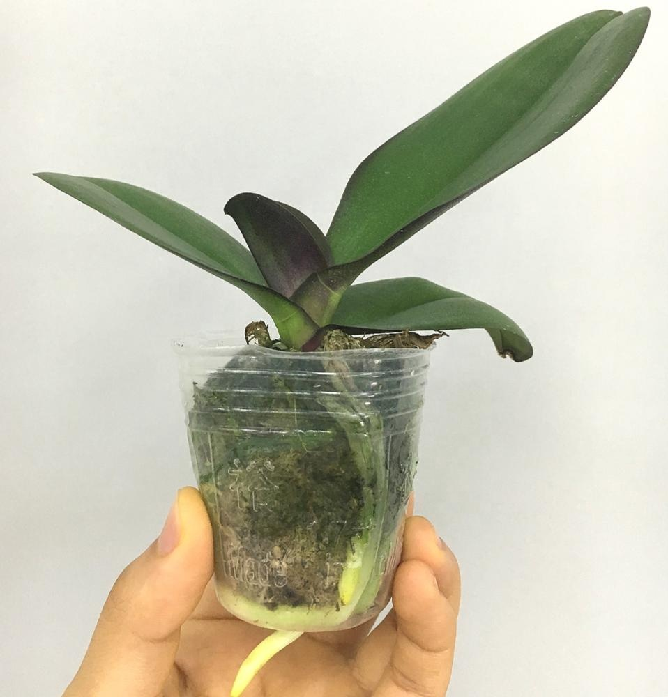1.7 Inch Orchid Phalaenopsis Tissue Culture Seedlings