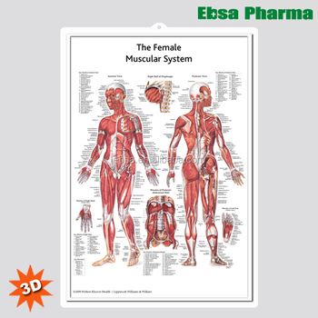 3D Medical Human Anatomy Wall Charts / Poster - The Female Muscular System
