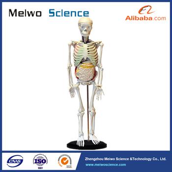 Menschliches Skelett Mit Inneren Organe Anatomie Modell Für ...
