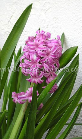 Hyacinthaceae, lily and tulip