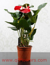 <span class=keywords><strong>Anthurium</strong></span> <span class=keywords><strong>संयंत्र</strong></span> Q8flowers