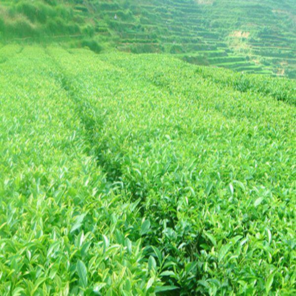 Milk Oolong Chinese Oolong tea Weight loss - 4uTea   4uTea.com