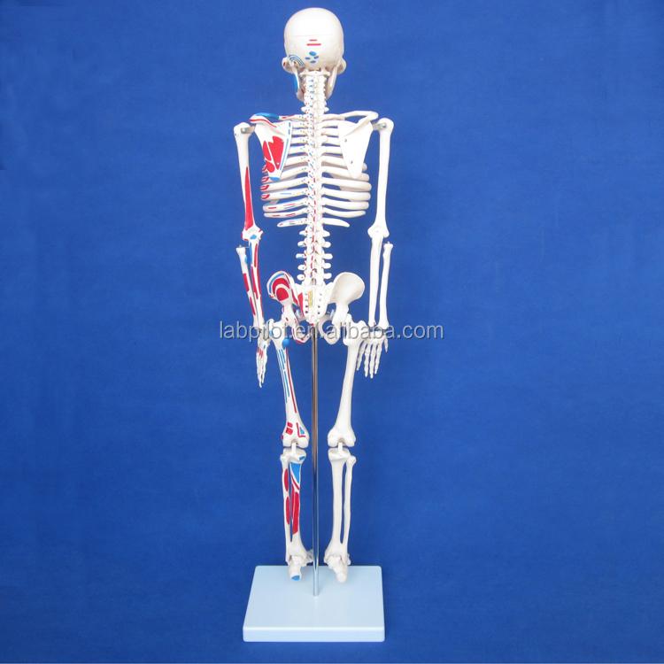 85 cm Günstige Menschlichen Anatomie Skeleton mit Gemalt Muskeln ...