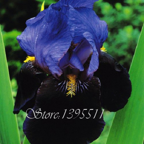 100pcs orchid Iris germanica seeds. Rare bonsai orchid flower seeds for garden. home & garden seeds perennial