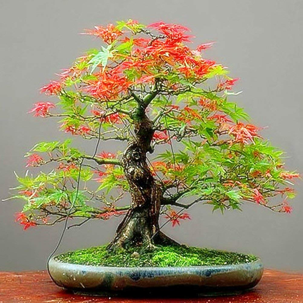 Rainbow Eucalyptus Tree Bonsai Bonsai Tree