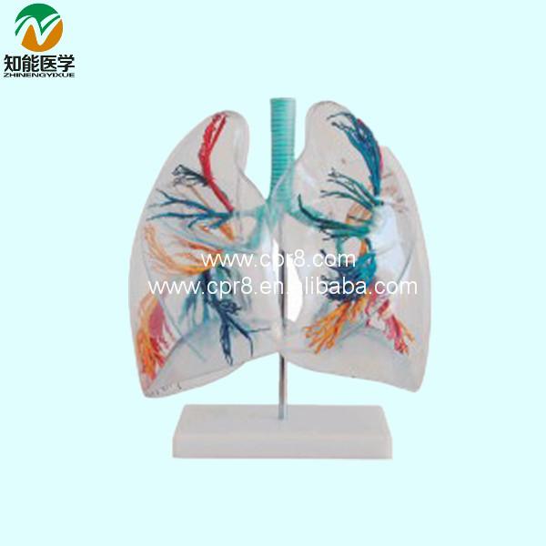 Bix-a1058 anatomischen transparenz menschlichen lunge segmente ...