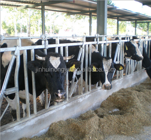 cow cattle dairy feeder