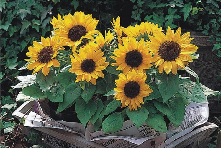 Planta ornamental semillas de girasol negro color negro for Planta ornamental garbancillo