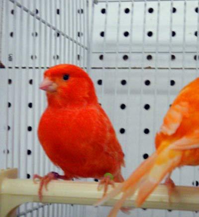 abbc45177e5ee عامل الكناري الأحمر للبيع-طير وثروة حيوانية-معرف المنتج 139660794 ...