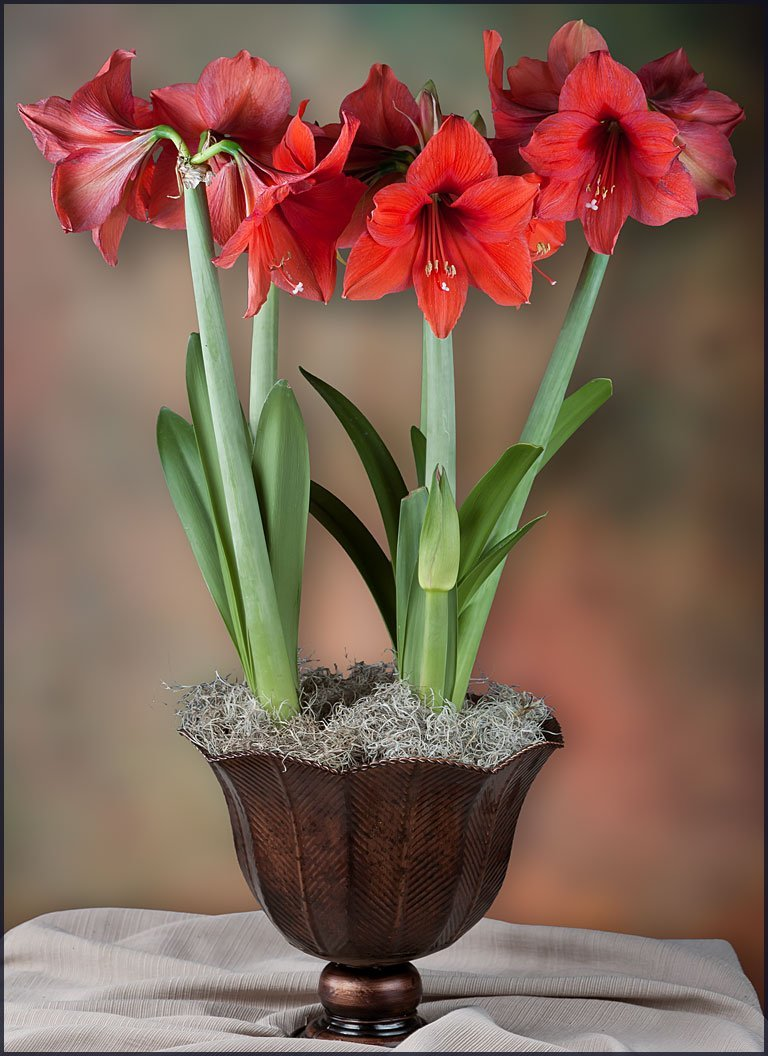 Amaryllis: care and cultivation at home 38