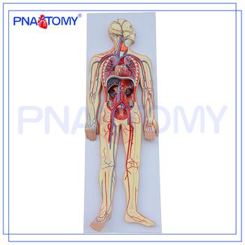Pnt 0438 Advanced Human Anatomy Modelhuman Circulatory System Buy