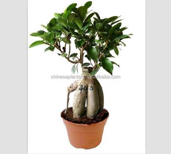 400g Ginseng Grafted Ficus Bonsai,Ginseng Ficus,Bonsai Trees Live ...