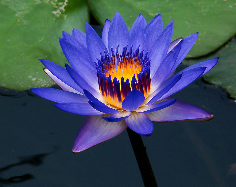 White Lotus Day - May 8 - Theosophy.Net