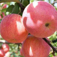 2019 Fresh Royal Gala, Fuji, Golden Delicious, Red Delicious Apples